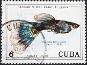 Poecilia Reticuata - Guppy Fish