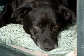 Black Guard Dog Dozing Off In Kennel