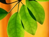 Illuminated Green Leaves