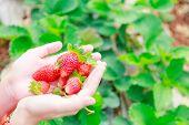 Strawberry On Hand At Chiangmai