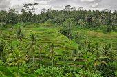 Bali Ricefield  Indonesia Ubud Bali