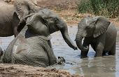 stock photo of elephant ear  - African elephants cooling off and playing in muddy water - JPG