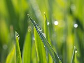 Dewdrops On Green Grass In The Sunshine