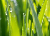 Dewdrops On Green Grass In Sunshine