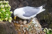 Kittiwake on a nest with two eggs
