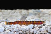 foto of loach  - Kuhli Loach Catfish Pangio kuhlii on gravel - JPG