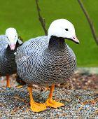 Emperor Goose, (Anser canagicus