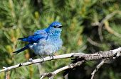 Ruffled Mountain Bluebird Perched In A Tree