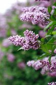 Purple Lilac Background