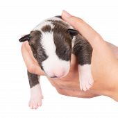 newborn english bull terrier puppy