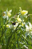Bumble Bee On Daffodils