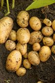 New Potato Crop