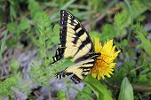 Swallowtail on a dandelion