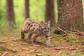 picture of mountain lion  - Puma concolor kitten called mountain lion in forest - JPG