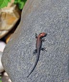 Little Lizard On A Rock