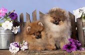 pomeranian spitz puppies and flowers