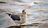 Sea Gull In Water