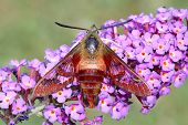 Common Clearwing Moth