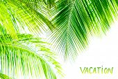 Palm tree leaves border isolated on white background, studio shot, copy space, tropical nature, summ