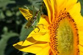 stock photo of locusts  - Locust on sunflower  - JPG