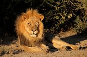 Big male African lion (Panthera leo) resting, South Africa