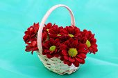Red Santini flowers in wicker basket on green background