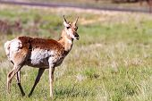 pic of mule deer  - Mule deer in Bryce Canyon National Park Utah - JPG