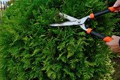 stock photo of prunes  - Pruning bushes in the garden - JPG