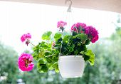 stock photo of geranium  - Outdoor flowerpot - JPG