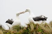image of albatross  - Southern Royal Albatrosses in grass displaying in courtship, low angle view.