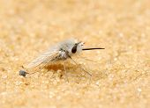 foto of pubescent  - Fly with dense white hairs on the sand - JPG