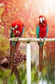 Two beautiful red and blue macaw perched on a wooden post by the tropical river
