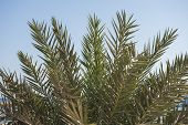 Closeup Of Date Palm Tree Leaves