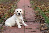 A Yellow Happy Labrador Puppy In Autumn