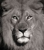 Beautiful Portrait Of a Lion In Black and White