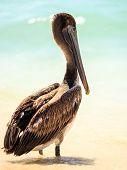 Brown Pelican On Mexican Beach
