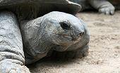 Giant Tortoise Portrait