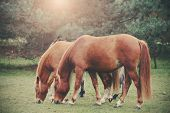 Vintage Retro Filtered Picture Of Grazing Horses.