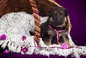 German shepherd puppy sitting in a basket. White lace veil. Purple background.