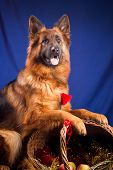 German shepherd put his paws on a wicker basket. Blue background.