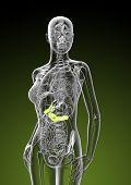 pic of pancreas  - 3d render illustration of female gallbladder and pancreas  - JPG