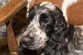 Portrait Of English Cocker Spaniel