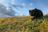Black Cat Sneaking In Grass On Meadow
