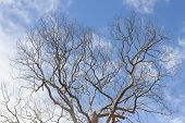 image of dead-line  - Dead tree without leaves on sky background