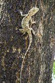 pic of fanny  - Brown lizard in park  - JPG