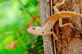 image of fanny  - Brown lizard in park  - JPG