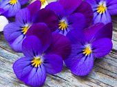 image of violet  - beautiful wild violets arrangement - JPG