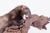 pic of ferrets  - small animal rodent ferret on a white background - JPG