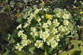 picture of celandine  - Primrose - Primula vulgaris growing with Lesser Celandine - Ranunculus ficaria - JPG