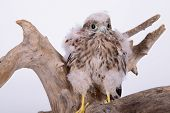 stock photo of hawk  - young chick hawk sitting on a wooden driftwood on a white background - JPG